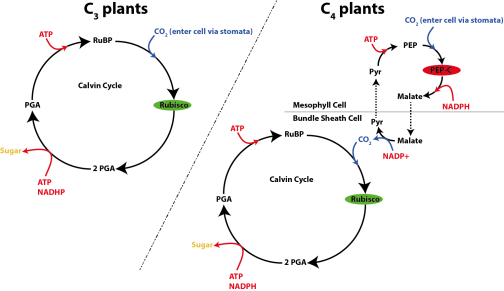 Fig. 3: Overview of carbon fixation pathway used by C3 (left) and C4 plants (right).